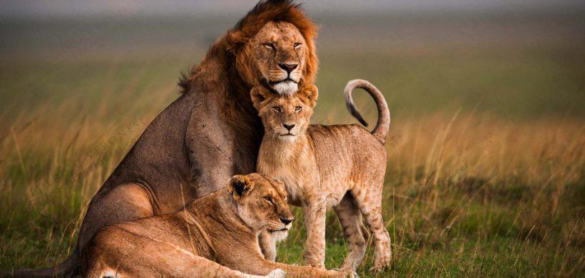lions-tsavo