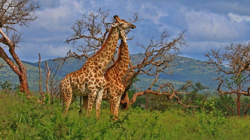 tsavo-giraffes