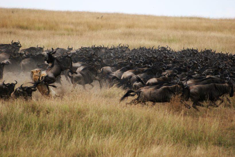wildebeest-massai-mara
